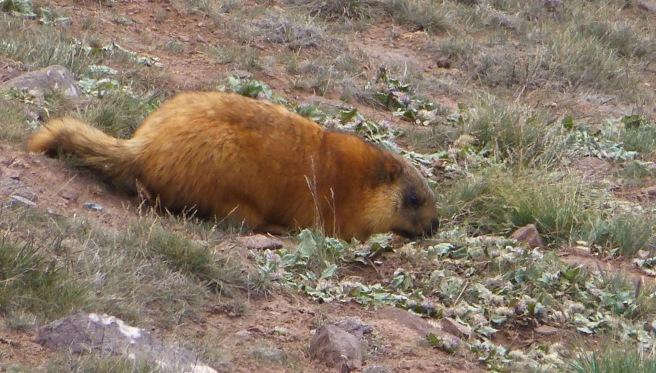 A fluffy marmot