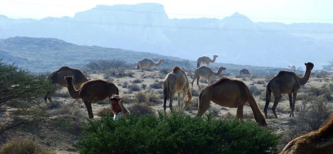 A lot of camels